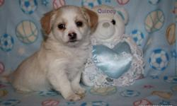 Very sweet, happy, goofy, non-shedding, hypo-allergenic and loyal!  They are family raised and have been bred for their temperament and companionship.  They will make beautiful family pets.   $975.00 (non-breeding) ~price will include microchip, vet exam,