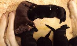 Purebred Labrador retriever Puppies Born in Langley on December 28, 2011.  2 Chocolate and several Black. Champion Line on both parents? sides. Great quality stock, with health guarantee.  Warranty against eye, hip and elbow disorder.  Best temperament.