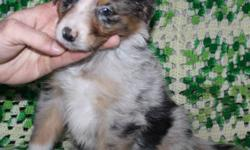 CKC REG'D AUSTRALIAN SHEPHERD ( AUSSIE ) FEMALE PUP ADORABLE BLUE MERLE AUSSIE PUP. SHE HAS A FULL LENGTH TAIL, SHE WAS NOT DOCKED. GOOD QUALITY & EXCELLENT TEMPERMENT FAMILY RAISED WITH CHILDREN AND OTHER PETS. PUP WAS BORN NOVEMBER 1/2011. SHE IS ALMOST