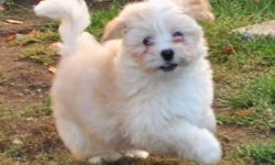 """CKC Premier Members in good standing. Our puppies are registered on the """"Puppy List"""" on the CKC Website. www.ckc.ca Havanese are non-shedding, lovable, playful, comical, entertaining, and extremely adaptable. They make great pets for families and seniors."""