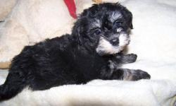 Raised in a loving home, these sweet Havanese were born to our champagne colored female and our black & white male.  Both parents have great personalities and are sweet house pets.  These puppies will be CKC reg'd.   Absolutely precious!! You are getting