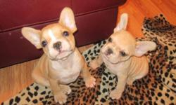 Beautiful Frenchies ready to go to new homes. Shots dewormed vet checked Micro Chipped potty trained. We have 3 females 2 creams and one dark brindle female and 2 red fawn males with a tiny white. last pics are mom and dad.Go to our website to see lots of