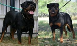 Big beautiful German rottweiler puppies They are from imported parents with famous Champion and working Bloodlines.  http://www.adaliarottweiler.com Parents are health tested OFA'd  Puppies will have 3 shots,wormed, vet check and micro-chip prior to
