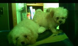 5  Beautiful Soft  Havanese Puppies. CKC Registered, Champian Lines. 3 Males and 2 Females. Various shades of red and apricot colouring. Ready for new homes now!!!! Extreemly soft and very friendly. True Havana Silks. Father comes from a line out  of  the
