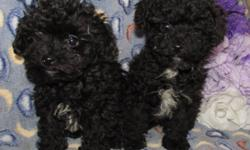 One male and one female teacup poodle puppies and will be between 4 and 4.1/2 lbs when full grown.  The puppies are black with white markings, 10 weeks old and have..1st shots, dewormed, tail and dewclaws done, microchipped, registered and 6 weeks of free