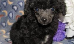 Tiny Toy Blue Male, will be around 5 lbs when full grown $600 Teacup Blue/white Female, will be around 4 lbs when full grown $1500 Toy Silver Male 7 months, will be around 7 lbs when full grown $500 The puppies are Vet checked already with 1st & 2nd