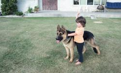 Beautiful,registered,pure German Shepherd pair expecting first litter of puppies middle of February.Hobo is a very loyal, obedient dog.Very protective of his loved ones and his territory.His grandfather was a Canadian champion.Ginger is a playful mate who
