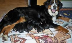 Scout had a beautiful litter of puppies on January 22nd.  The puppies will be ready to go to their new homes on March 18th.  If you would like more information or would like to be added to our contact list, please visit our website.
