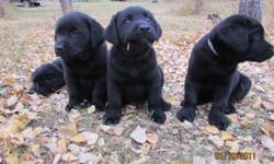 All black litter, 2 boys left. Camo and Red (collar color) are the only 2 left. Camo is very laid back with a large blocky head. Red is a bit taller and quite curious. Parents are working dogs as well as pets. Dad (95 lbs) is very quiet and calm yet eager