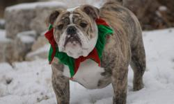 2.5 year old CKC registered male Bulldog (Jeansonbulls Tony Soprano) for sale to family home with experience in owning Bulldogs. Tony has a great temperment and is very playfull and loving boy. He is 68 lbs and is still intact. He would need to be fixed