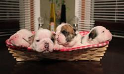 From Lariviere's Bulldogs we have four healthy puppies available to pet and to show homes. Pups will be vet checked, vaccinated, micro chipped and come with a health guarantee. Mom can be seen with pups, pics of proud papa can be seen at Bulldacious