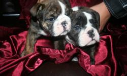 """CKC REGISTERED/REGISTERABLE ENGLISH BULLDOG PUPPIES   ONLY 1 BOY LEFT!!!   These boys are MASSIVE, NICE ROPE, TONS OF WRINKLES, SUPER THICK BONE STRUCTURE, BEAUTIFUL MARKINGS! I have 1 male RED brindle and white.  I own the sire, Cherokee Legend Big """"D"""""""