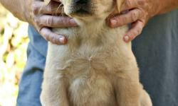 "Rayneriver Reg'd Labrador Retrievers has a ""PICK OF THE LITTER"" YELLOW FEMALE (ENGLISH STYLE) WITH A WONDERFUL, OUTGOING TEMPERAMENT out of our recent Daisy x Bo litter looking for a loving foster home in Winnipeg or the immediate surrounding area --- one"