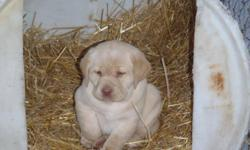 OAK LANE RETRIEVERS HAS 2 CKC Registered FEMALE Yellow Lab puppies available for sale to approved homes. PUPPIES ARE READY FOR THEIR NEW HOMES NOW!!! WE HAVE 2 YELLOW FEMALES AVAILABLE. Pups were born on the 29th of October and will be ready for new homes