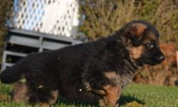 Puppies  available  from  ODESSA VON BLACKGOLD PEN and NEIKO VOM CLEARCREEK BAUERNHOF    We currently have an outstanding litter of German Shepherd puppies for sale born on the 22nd of Oct.  We have  1 male & 1 female available . Puppies will be ready to