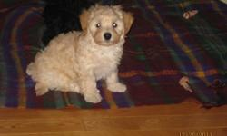 These adorable little ckc reg'd Havanese puppies are 10 weeks old and are ready to go to their forever home.   This breed is a family dog that is small but sturdy, intelligent, cheerful, friendly with people, playmates with children and amiable with other