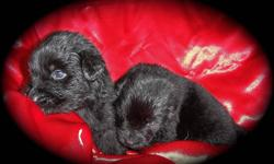 We at LALEEBEAN KENNELS have a beautiful litter of CKC Registered Newfoundland puppies.  Males and females are available. Sire is a black and dam is a Landseer.  Puppies are black with a very small amount of white on their chest.  Will come with first