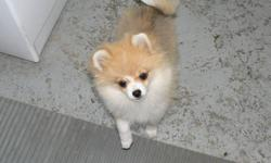 We have 1 beautiful Registered Pomeranian puppy. This lovely little girl is an orange Parti color, she is well socialized and well on herr way to paper training. Her and her sister were smaller  so we held them back waiting for them to grow. She loves to