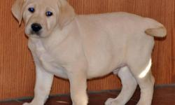 Yellow Labrador Retriever Puppies  Health and Quality you can count on by reputable breeders. Puppies were born on July 31st and are ready for their new homes now.  All puppies are microchiped, dewormed and have first vaccinations. Puppies are purebred