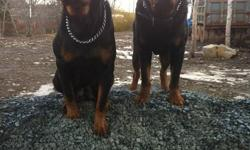 Hello to all my Rottweiler lovers, pups got their first shots and doing excellent, both parents on site,  Great temperment, rottweilers make a great family pet, very obedient, loyal, loving, and extremely playful. There are two girls and one boy, a $200