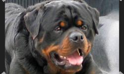 If you?re looking for the best,then look no further. C.K.C Registered / Imported Champion German lines /World famous/SchH titles/Check out web site http://www.cramattekennels.com  Direct from breeder/trainer with over 25 years experience. * IMPORTED ALL