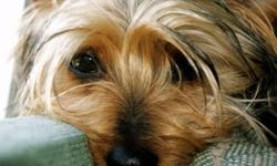 CKC Registered Silky TerrierPuppies For Sale   We are now accepting deposits on a litter of CKc Registered Purebred Silk Terrier Puppies that are due to be born on February 10/12   Silkies are very similar to Yorkies without any of the Yorkie Health