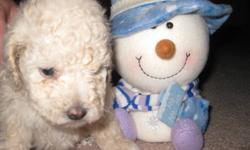 Our 4lbs stud Sebastian (pictured) has sired three beautiful pups that will be ready to go to their new homes just in time for Christmas!    This litter of CKC Registered Pure Bred Toy Poodles were born on October 28th. There are two girls and one boy