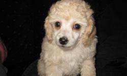 Our 4lbs stud Sebastian has sired three beautiful pups that are ready to go to there new homes, both the father and mother are available to view.   This litter of CKC Registered Pure Bred Toy Poodles were born on October 28th. There are two girls and one