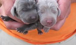 Litter expected by the middle of January!  Pups come CKC registered, CKC microchipped, vet checked, one year health guarantee, all up-to-date shots, dew claws removed, and tails docked.  Mother is silver and father is blue.  Call or email today to reserve