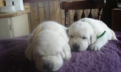 CKC REGISTERED YELLOW LABRADOR PUPPIES MALES & FEMALES AVAILABLE Well socialized, friendly and smart come with vet papers, 1st shots, 3X de-wormed, dewclaws removed, 2 year genetic guarantee, references available on website Breeder for over 10
