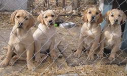 Our CKC registered yellow lab puppies have had their first shots and deworming. They have also had a vet check-up, and are microchipped. Very quiet, obedient parents.  These labs were chosen and bred for their genetics and  friendly natures to fit in with