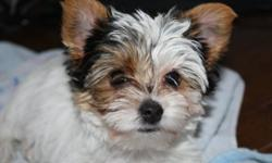 NOW TAKING DEPOSITS ON UPCOMING LITTERS OF CKC REGISTERED TRADITIONAL & PARTI YORKIE PUPPIES: Puppies are due the end of Jan and will be ready to go end of March or first part of April. All puppies will come with CKC Registration, first set of shots and a