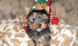 """Nothing says """"I LOVE YOU"""" more than a beautiful baby doll faced Yorkshire terrier puppy! Their sweet personality and temperament makes them a very loving family pet. They are wonderful companions for people of all ages. Our puppies are raised in a family"""