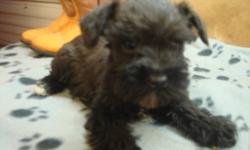 I have a beautiful black female teacup puppy that is ready to go to a new home today.  She is very tiny and has an incredible personality.  She is extremely playful and loving and loves talking to you.  I also have a black and white parti male ready to