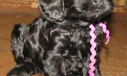 We have new Cockapoo puppies. They were born Oct 26th and will be 8 weeks and ready to go Dec 21st. They will be vet checked, have their first shot and will be dewormed. These puppies are well socialized. Thanks, 780-352-6360