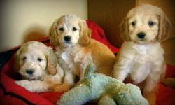 6 Beautiful Male Cockapoo Pups available for adoption.   Friday Update:  1 Male Pup remaining (Mr. Purple String)   First Generation resulting in a nice wavy, low to no shedding, allergy friendly coat.   Maturing weight 20 - 25 lbs.   Excellent
