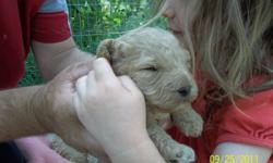 2 Cockapoo puppies, apricot in colour, one female and one male.  Will have first shots and vet check. Parents are both 1st generation cockapoos.  Feel free to call for more information.