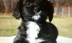 Cocker Spaniel puppies for sale,   Very cute ......           If you are interested just give me a call !!  Cell:  1 (701) 238-6937     Doun t Miss It >>          Cocker Spaniel / Mini Pudle Mix