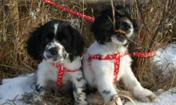 Cocker Spaniel.  One beautiful black & white      (with brown eyebrows)  puppy is looking for a      wonderful home. Kids would be great.      Loves both  indoors and outdoors.  Male.             Call 306-934-3940, Saskatoon.