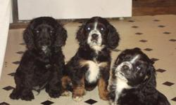 PB Cocker Spaniel Puppies for sale. They are 10 weeks old and are ready to go to good homes. All have had their first shots, and have been dewormed. We have 1 female, and 2 males available. The mother and father are loving, well-natured family dogs, and