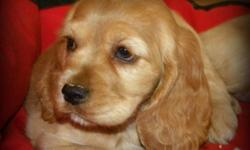 5 Gorgeous Male American Cocker Spaniel Pups Available. Priced to Sell   Saturday Update: 2 Males Available.   Excellent temperaments - perfect family pets.   Our Puppies are Vet Checked, Vaccinated and Dewormed and come with Puppy Food and Health