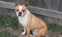 If your looking for a boston of differant color with good health confirmation and temperment that is NOT INTERBRED and JVC clear you can visit our web site http://www.akcoloredbostons.ca       we sell our puppies to local families as life time pets. we