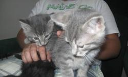 We have 3 adorable kittens to give away to a good home!  They are 8 weeks old, litter trained and already good mousers so would be perfect for in your house or outside on a farm!  Can deliver if in P.A. or come and pick them up at our farm 10 min east of
