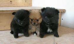 CUTE & CUDDLY POMERANIAN PUPPIES! Will be vet-checked have their 1st shots and deworming. They are the sweetest, adorable balls of fur! 2 females, 1 male. $100 will hold your favorite puppy! Will be ready to go, January 28. Asking only $425 each. Phone: