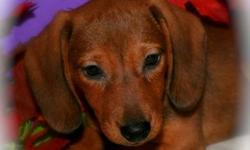 Cute Dachshund puppies DOB 6 July 2011. Dewormed and first shots. Female, two short hair. They are extremely friendly and very playful, They also love to cuddle with kids, Ready to go to their new home. Best way to contact is via email, will meet in