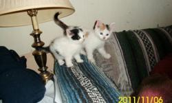 Female kittens, litter trained, very friendly, approximately 8 and 9 weeks old. $30    403-371-6332