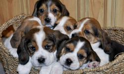 CUTE & PLAYFUL BEAGLE PUPPIES! They will be vet checked, have their first shots and be dewormed when they are ready to go. Ready to go on January 21st, 2012. Asking $450 each.. A $100 down payment will hold the puppy of your choice. Will consider