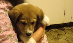 Puppies for sale just in time for Christmas, Mom is a pure-bred Scottish Collie and dad is a an Akbash (predator control dog). Both Mom and Dad have great temperaments, excellent around children Mom and Dad are. We have 1 female and 2 males left, 1 is