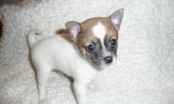 1 LITTLE POMCHI PUPPY LEFT, SHE IS READY FOR HER NEW HOME. VERY PLAYFULL AND LOVES TO BE HELD. MOTHER IS POMERANIAN (IN LAST PICTURE) AND FATHER IS CHIHUAHUA. POMCHI HAS SHORT HAIR AND IS VERY SOCIAL, LOVES ATTENTION. Asking $420.