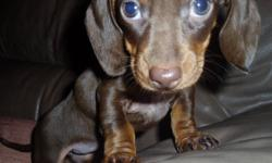 Beautiful chocolate miniature female dachshund puppy. Father is 11 pound chocolate from champion stock & C.K.C. registered. Mother is pure-bred 7 pound chocolate with chocolate father and cream mother. These are gorgeous puppies. Ready to go to an